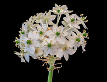Fine Art Still Life Colorful Floral Macro Portrait Of A White Green Cluster Of Star-of-Bethlehem / Ornithogalum Flower Blossoms On A Stem On Black Background With Detailed Texture