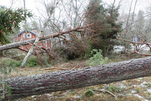 Fallen pine trees in front of a red cottage after the terrible storm Alfrida in Canvas Print