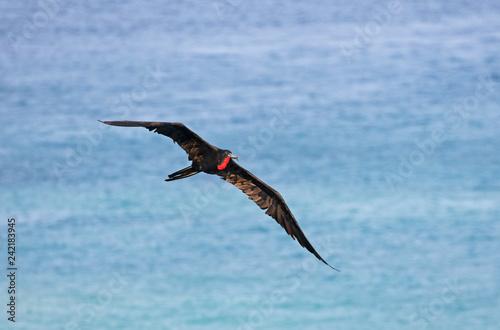 Fotografie, Obraz  Male Magnificent Frigate bird in Flight, Central America