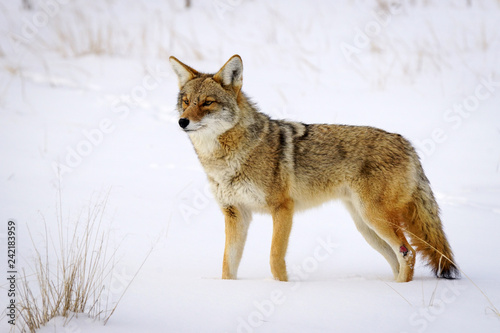 Coyote Snow - Colorado Fototapet