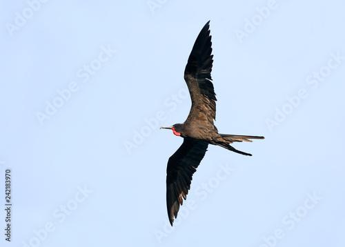 Obraz na plátně  Male Magnificent Frigate bird in Flight, Central America