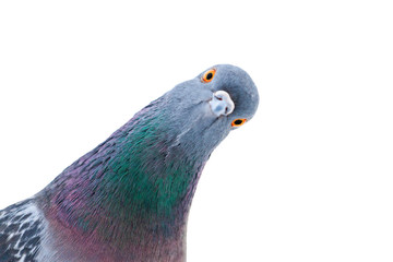 pigeon looks at the camera interestingly