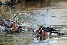 Wood Duck Drake Action