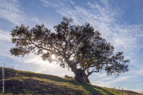 Naklejka premium Dąb kalifornijski podświetlany promieniami słońca w pobliżu Los Olivos w winnicy w Kalifornii w Stanach Zjednoczonych