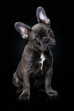 French Bulldog Puppy Sitting O...