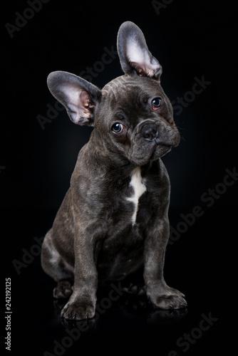 Staande foto Franse bulldog French bulldog puppy sitting on black background
