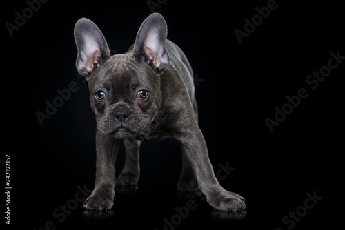 Stickers pour portes Bouledogue français French bulldog puppy on black background
