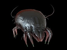Illustration Of A Dust Mite