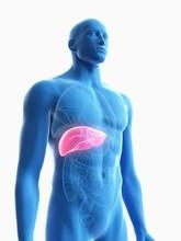 Illustration Of A Man's Liver