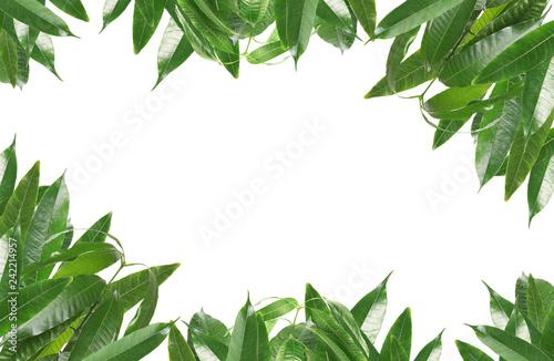 Frame of green mango leaves on white background