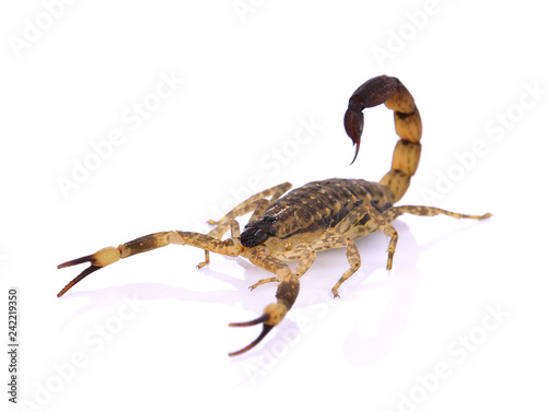 Scorpion on white background.