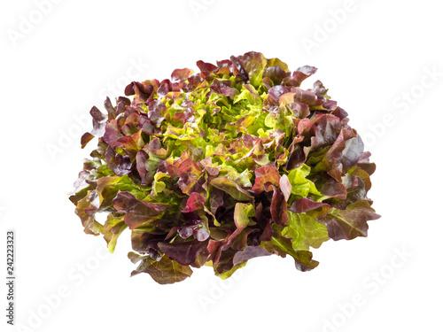 Purple oak leaf lettuce salad rosette