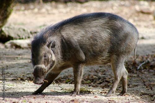 Photo  Wild Pig