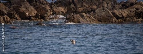 Naklejka premium Zatoka foka szara z 7 wysp Perros Guirec Côtes d'Armor Bretania Francja