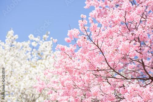 Valokuva  青空と2色の桜の木