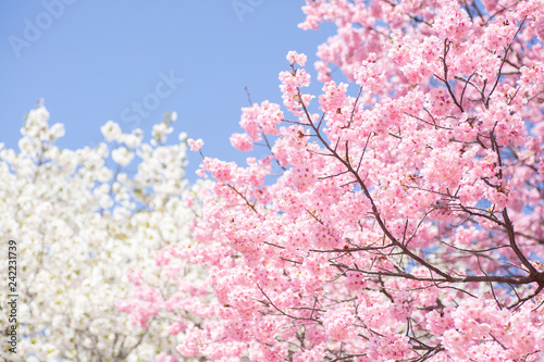 Fotografie, Obraz  青空と2色の桜の木