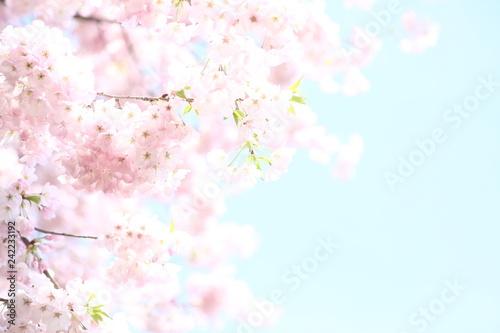 Foto auf AluDibond Licht blau 青い空に映えるピンクの桜