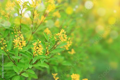 Small yellow flower on blurred background in the summer garden. Close-up nature leaves and wild flower.