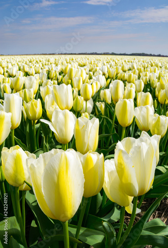 Photo  The tulip fields on a beautiful Spring afternoon