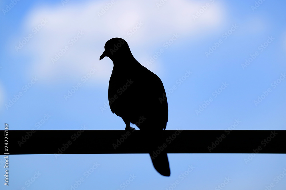 Silhouette of a Wild Zebra Dove Perching on the Fence against Blurry Blue Cloudy Sky