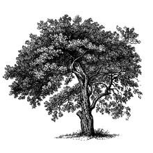 Apple Tree Vintage Illustrations