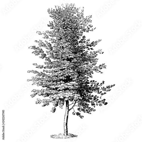 Fototapeta Beech Tree Vintage Illustrations