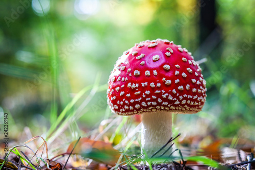 Fly agaric mushroom in the forest Wallpaper Mural