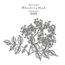 Elderflower Branch Isolated On White Background. Hand Drawn Elder Or Sambucus With Flowers And Leaves. Vector Illustration Engraved.