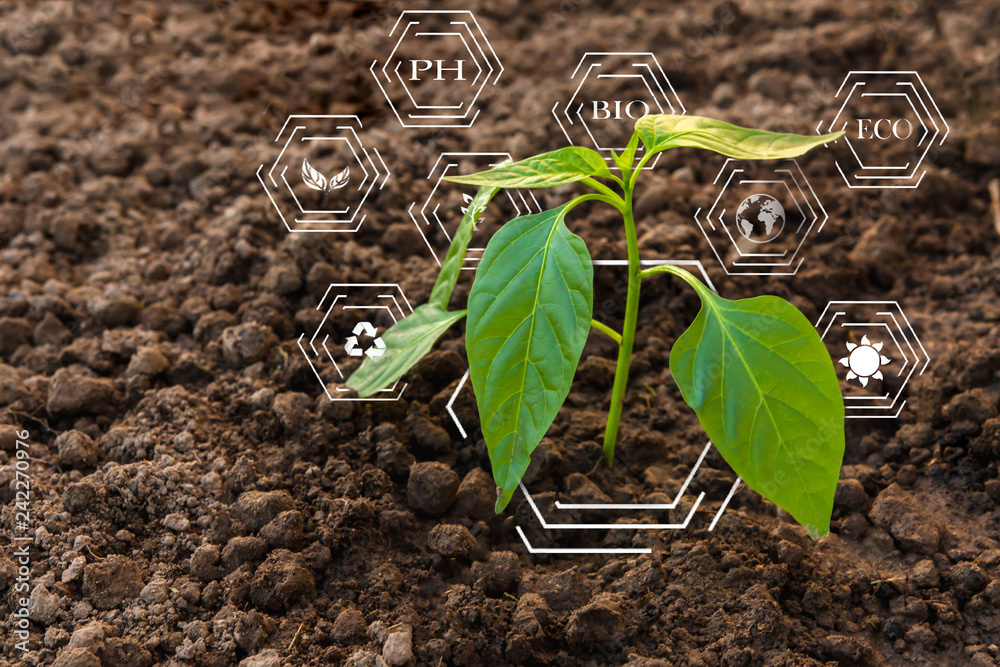 Fototapeta Smart farming with IoT, futuristic agriculture concept, cultivating ecological agricultural peppers using innovative technologies