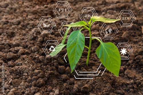Fototapeta Smart farming with IoT, futuristic agriculture concept, cultivating ecological agricultural peppers using innovative technologies obraz