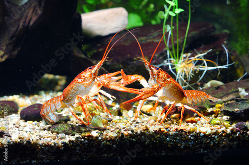 Two European Narrow-clawed crayfish Astacus leptodactylus fighting for food in aquarium