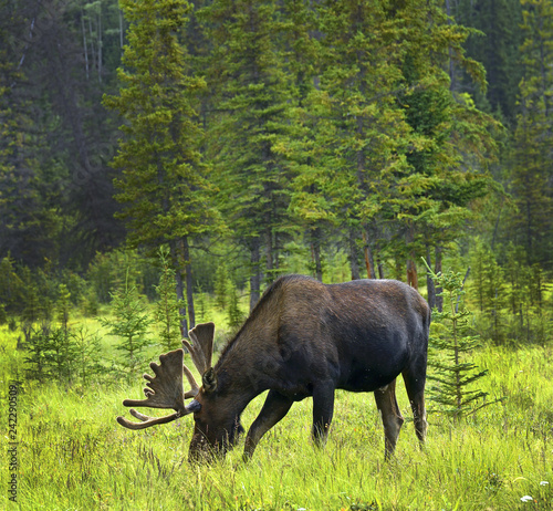 Yukon Territory, Canada - male moose near Alaska Highway