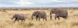 Fototapeta Sawanna - Three elephants in the Masai mara