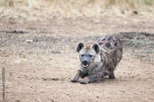 Fotografie, Tablou Laughing hyena