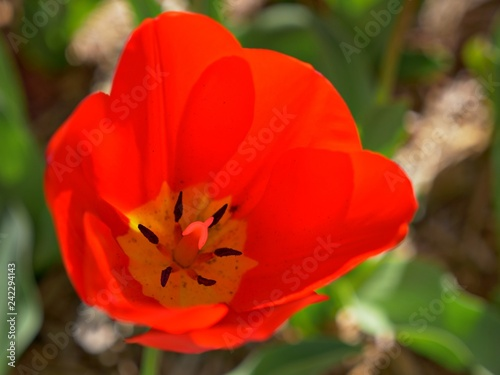 Photo  Closeup downward shot of a red tulip with blurred red tulips in the background