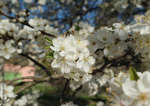Цветущее дерево алычи