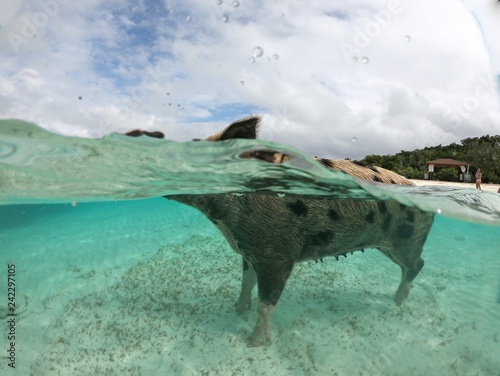 Fotografie, Obraz  Underwater dome shot of a swimming pig at the Exuma Cays, Bahamas