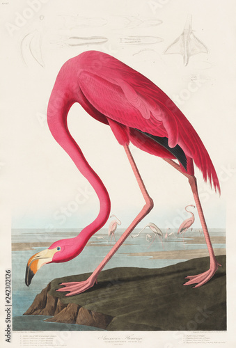 Pink Flamingo from Birds of America (1827) by John James Audubon (1785 - 1851 ), Canvas Print