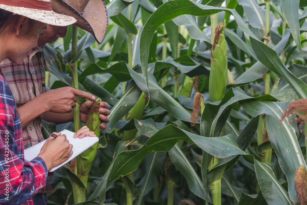 Fototapety, obrazy: Agronomist examining plant in corn field,  Couple farmer and researcher analyzing corn plant.