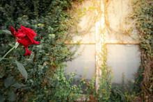 Red Rose Flower Near Abandoned...