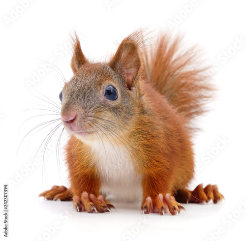 Spoed Foto op Canvas Eekhoorn Eurasian red squirrel.