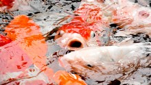 Carp Fish Open Mouth In Pond -...