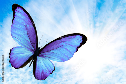 tropical flying blue butterfly with the sun against the sky