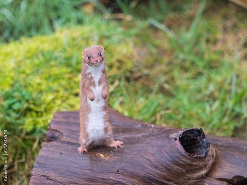 Stampa su Tela Weasel or Least weasel (mustela nivalis)