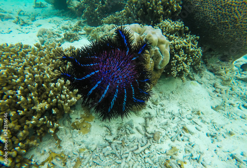 large Crown of Thorns starfish