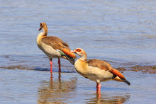 Egyptian Geese Standing In A African River