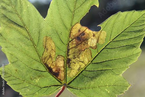 Sycamore maple (Acer pseudoplatanus) green leaf with mine of Sawfly leafminer (Heterarthrus sp.), Belarus