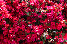 Beautiful Red Bougainvillea Bl...