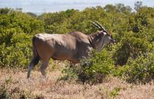 Bongo Antilope In Afrika