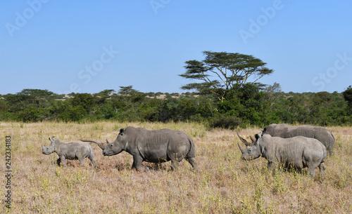 Nashörner wandern durch Kenias Steppe